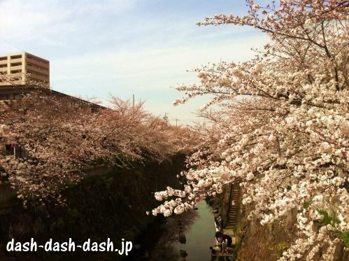 山崎川の桜並木02