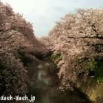 愛知 五条川の桜祭り!駐車場は?2017年のライトアップ期間は?