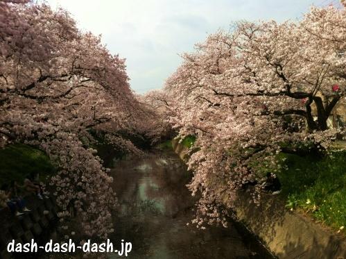 五条川(岩倉)の桜並木