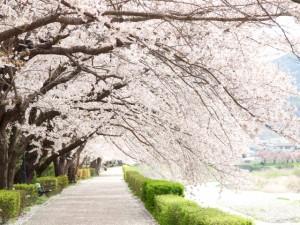 満開の桜(入学式)