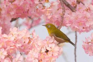 メジロと桜(入学式)
