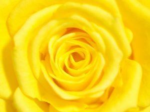 黄色いバラ(薔薇)