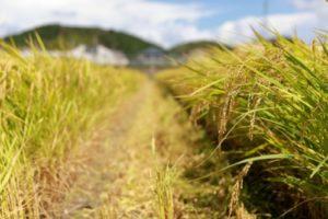 稲刈り中の田んぼ
