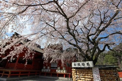 富士山本宮浅間大社の桜