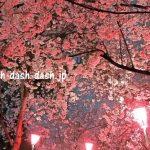 名古屋 鶴舞公園の桜!2017年のライトアップ時間&駐車場情報!