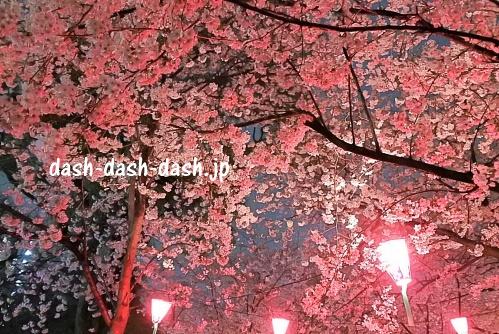 鶴舞公園の桜ライトアップ