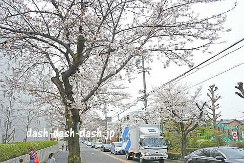 山崎川近くの桜のトンネル
