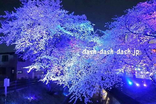 大口町五条川の桜ライトアップ01