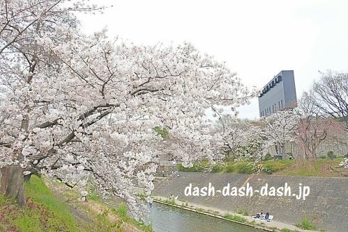山崎川の桜02