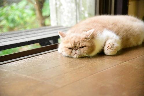 床に寝転がるブサ猫(エキゾチックショートヘア)