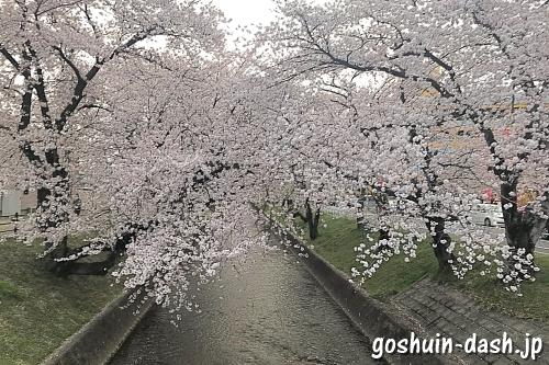 大口町五条川の桜並木03