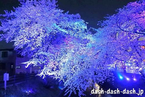 大口町五条川の桜ライトアップ03