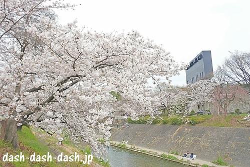 山崎川四季の道の桜02