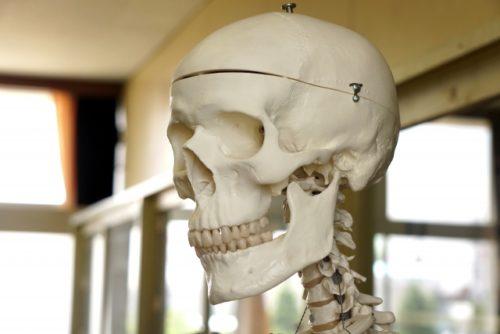 頭蓋骨(人体模型)