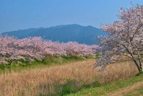 瑞梅寺川の桜並木(糸島)